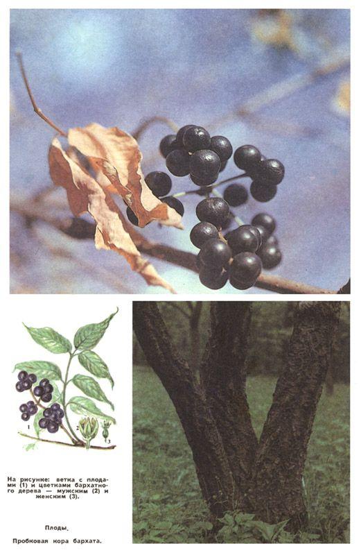 Ягода амурский бархат лечебные свойства